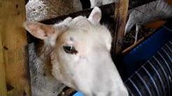 Kanoja ja lampaita Leppäkarilla