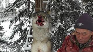 Борьба с волками в нашей общине