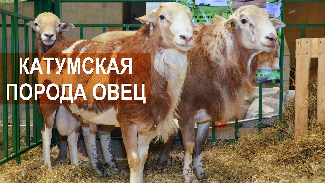 Дойка овец в мире