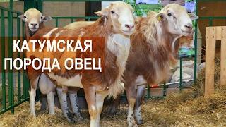 Катумские мясные овцы. Выставка Золотая осень 2016