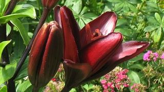 видео Клумба из флоксов: с какими цветами сочетаются, что посадить рядом в цветнике, пион, лилия