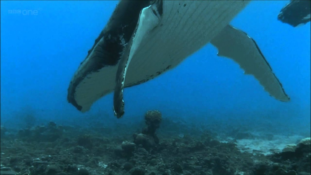 Animal Planet Wallpaper Hd Humpback Whales Bbc Documentary Excerpt Youtube