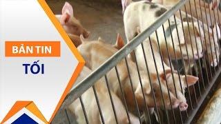 Hậu giải cứu, thịt lợn sẽ khan hiếm? | VTC1