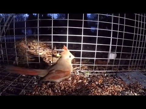Catching a female Cardinal in a Havahart Trap