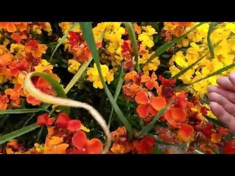 Лакфиоль(хейрантус)-обильноцветущий полукустарник