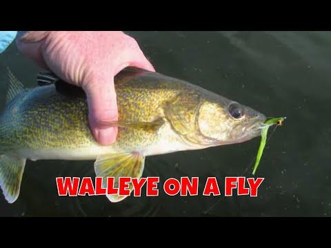 Walleye On A Fly