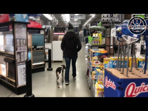 5 Month Old Brittany Spaniel, Violet | Best Dog Training | Northern Virginia Dog Trainers