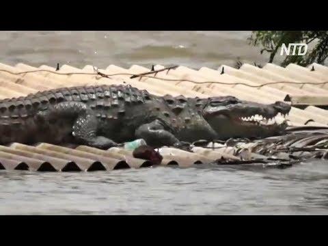 Индия: на крышу затопленного дома забрался большой крокодил