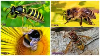 Пчёлы и осы (рассказывает энтомолог Владимир Карцев)