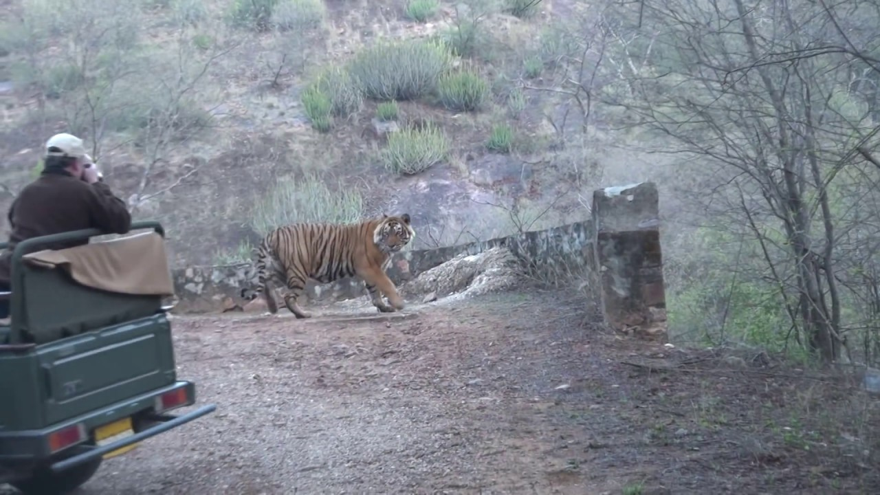 tiger friendship safari ranthambore tiger park