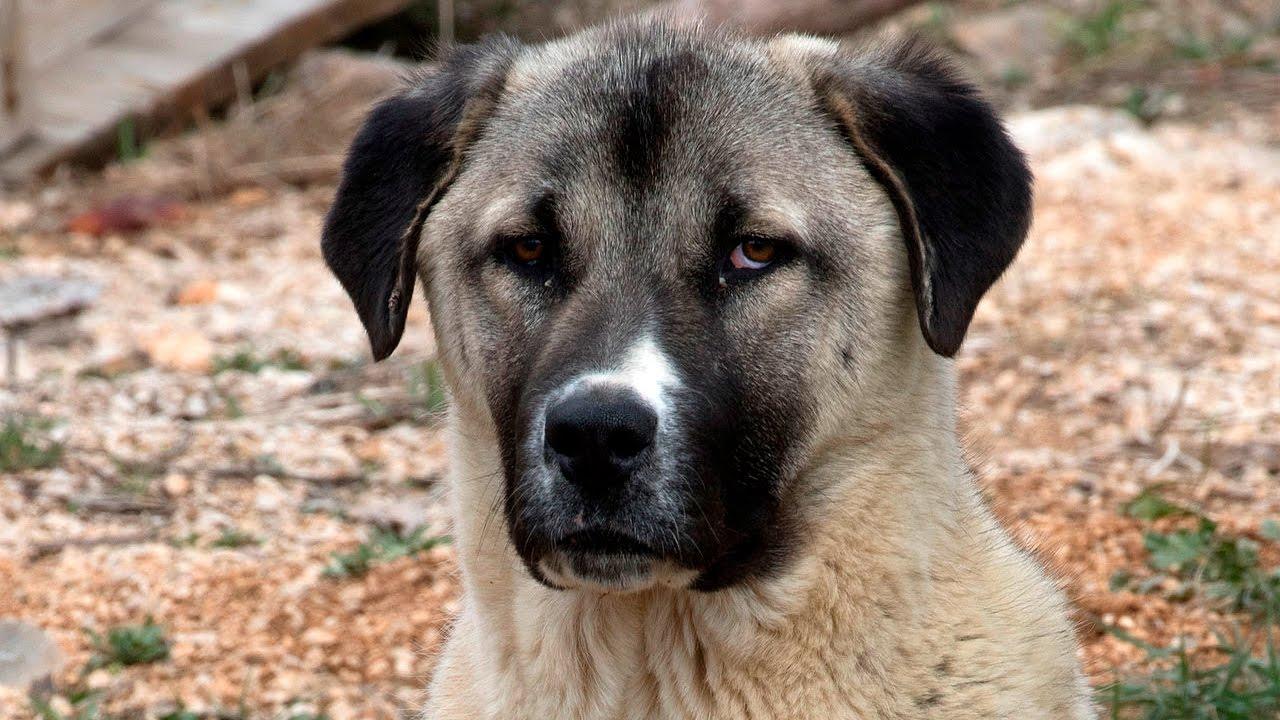 Anatolian Shepherd Dog - YouTube