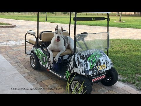 Talkative Great Dane Loves His Golf Cart
