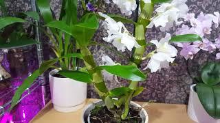 不同品種的蘭花跟進 (廣東話) 07/12/2018