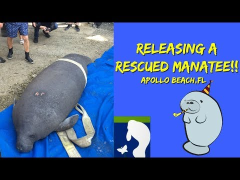 Releasing A Rescued Manatee!! Tampa Manatee Viewing Center, Apollo Beach, Florida