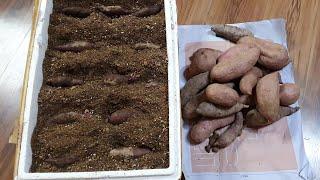 맛있는 신품종 자색고구마 거실에서 싹 내는 방법