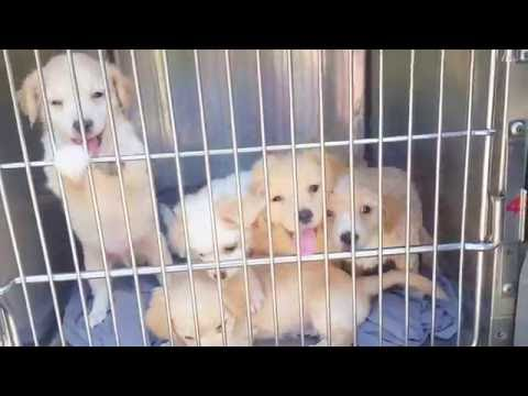 Spaniel/Papillon Mix pups rescued from Kill Shelter