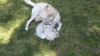 Maltese Iris And Husky Trixie Enjoying Themselves! - Long Version