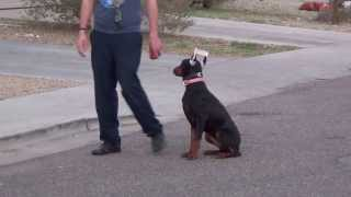Azworkingdogs.com - European - Trained Doberman Pinscher - For Sale/- Lexi