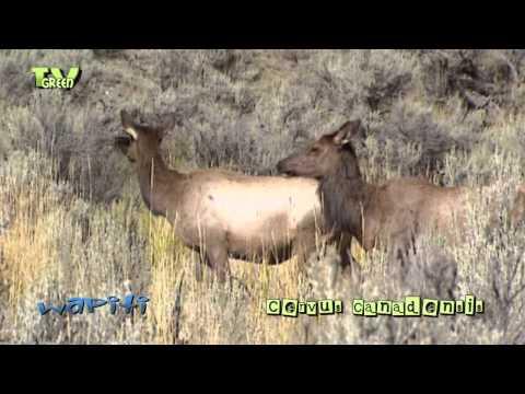 Wapiti in Yellowstone National Park - elk - cervus canadensis #08