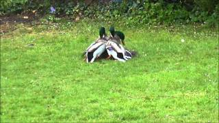 Mallard Ducks fighting to mate with female