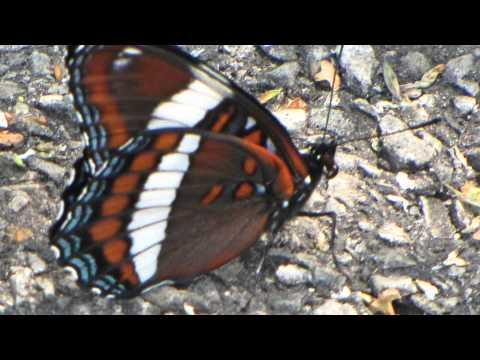 Common Butterflies of Renfrew County