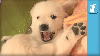 Fluffy Golden Retriever Puppies Fight On Back, Then Sneeze - Puppy Love