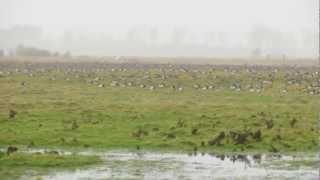 Brandgans / Barnacle Goose (Branta leucopsis)
