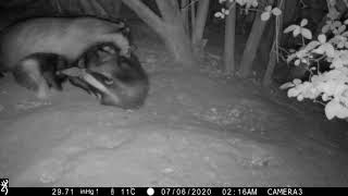 Badger sow grooming one cub, sitting on another