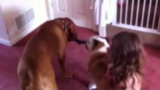 Dogue De Bordeaux Bulldog Tow