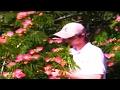 *Plant 'Flame' Mimosa Trees* +Correctly+Albizia julibrissin+