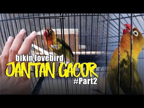 Cara Bikin Lovebird Jantan Gacor Part2 Youtube