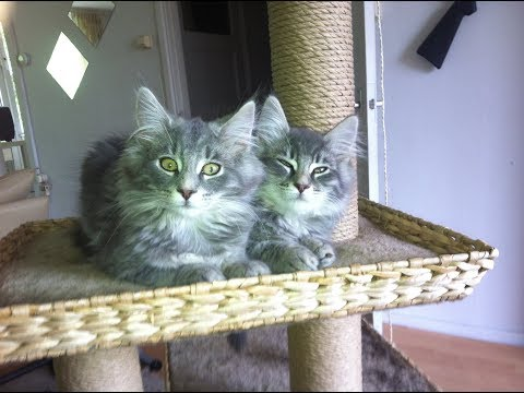Norwegian Forest kittens playing