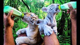 FEEDING BABY TIGERS IN MY BACKYARD