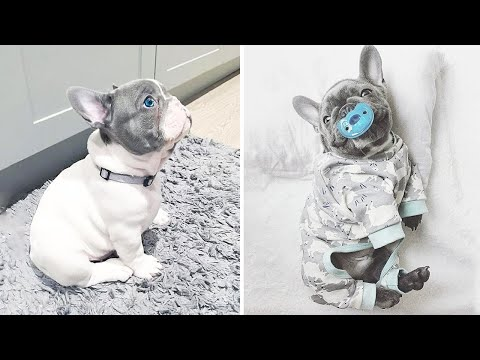 French Bulldog SOO Cute! Funny and Cute French Bulldog Puppies Compilation cute moment #10