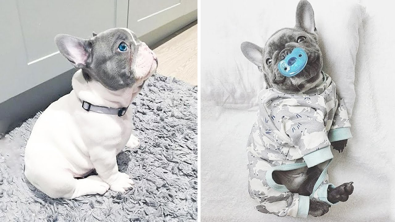 Adventurous French Bulldog Pups Can Get Up To All Sorts Of Mischief! | Too Cute!