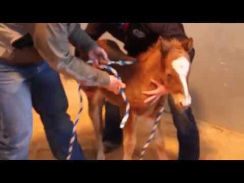 Madigan Foal Squeeze Technique   ARS