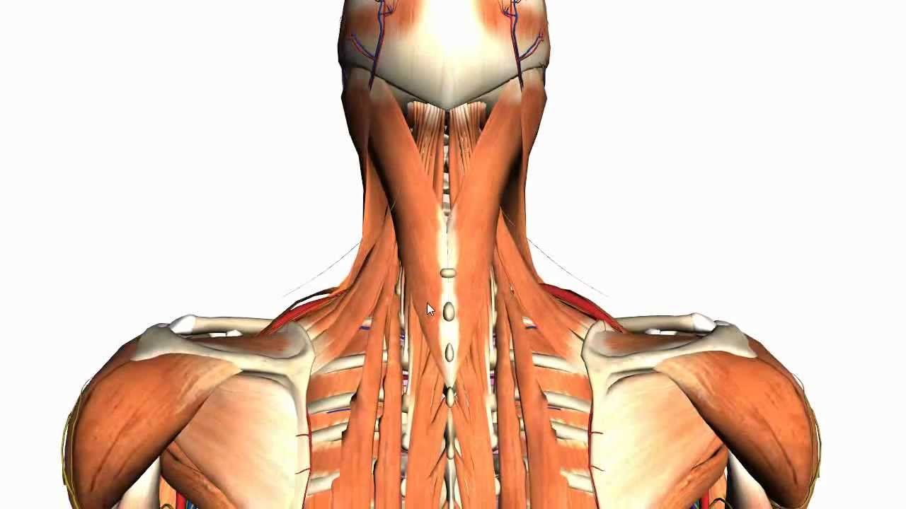 hight resolution of posterior shoulder muscle diagram