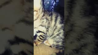 Продажа бенгальких котят в курске 89969439068