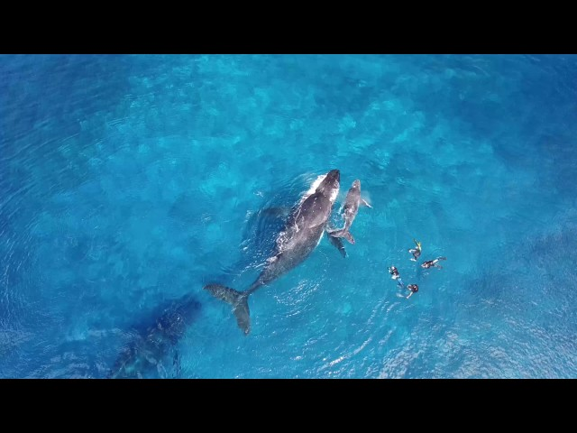 Tonga Humpback Whales By Air