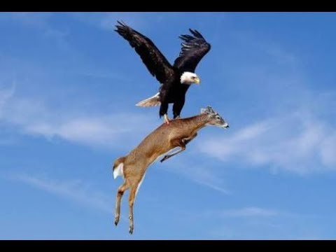 Deer Takes Revenge From Eagle | Eagle And Deer Fight | Eagle Attacks Deer | Eagle Vs Deer |