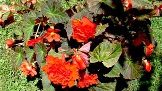 How to grow Begonia - Gardening 101 by Dr. Greenthumb