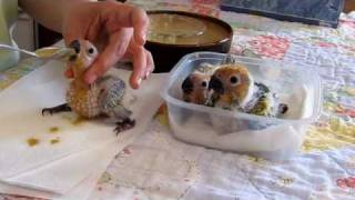 Feeding time for baby Conure Parrots -- 4 weeks old