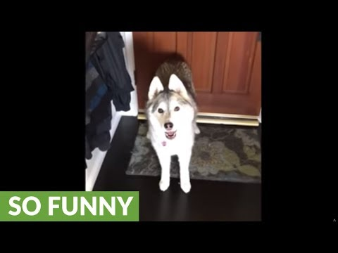 Husky literally prevents owner from going to work