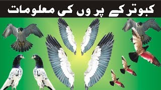 achey kabootar ke par ki pehchan part 05 by pigeons lovers