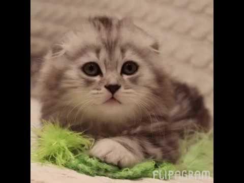 Очаровательные британские и шотландские котята. Питомник кошек  Silver Sharm . Продажа котят