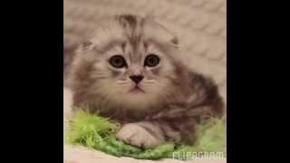 """Очаровательные британские и шотландские котята. Питомник кошек """" Silver Sharm """". Продажа котят"""