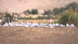 ♪鳥くん野鳥動画(Israel・イスラエル)FlockOfSlenderBilledGullハシボソカモメの群れ