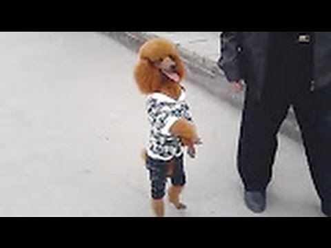 Funny Dog Walking On Two Legs Compilation 2017