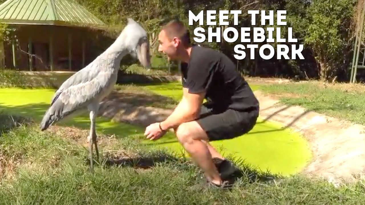 Meet The Shoebill Stork (Balaeniceps Rex) | Drive 4 Wildlife | Video