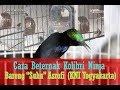 Hobi Burung Cara Ternak Burung Kolibri Memakai Kandang Kapsul Lovebird Bareng Asrofi Bantul  Mp3 - Mp4 Download